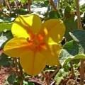 fremontodendron_mexicanum[1]