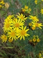 Ragwort_and_caterpillars.jpg