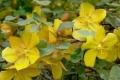 californicum.jpg