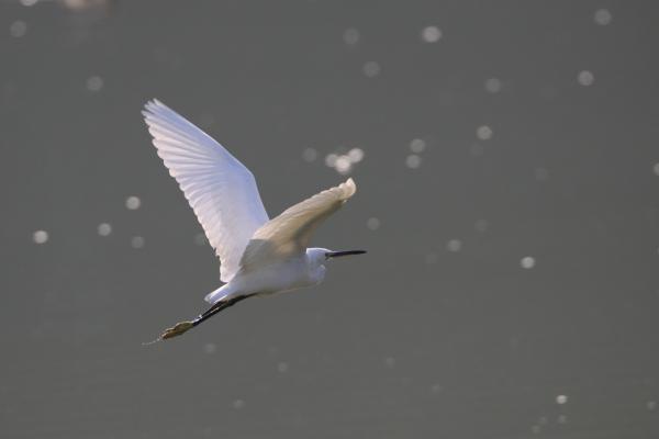 コサギ_千鹿頭池
