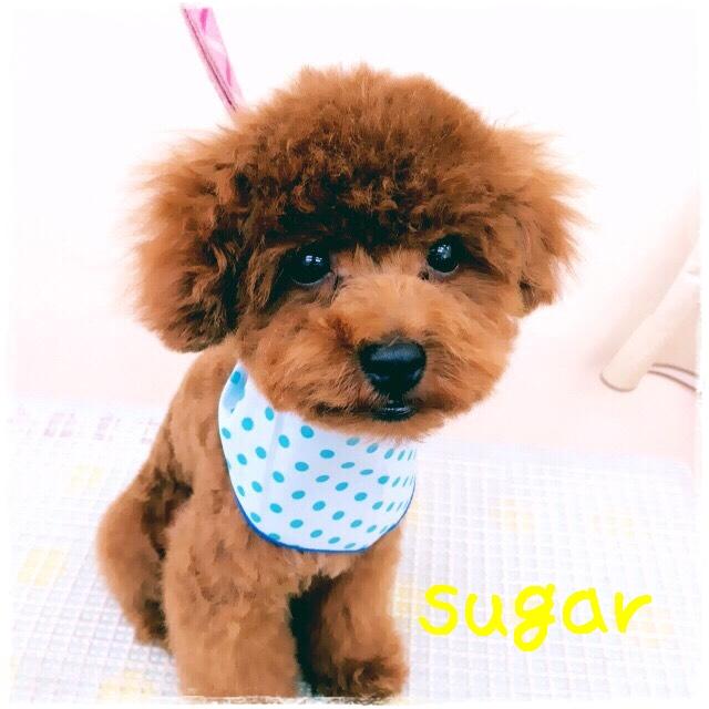 sugar 片木