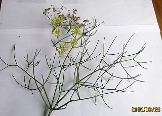 ウイキョウの葉と花