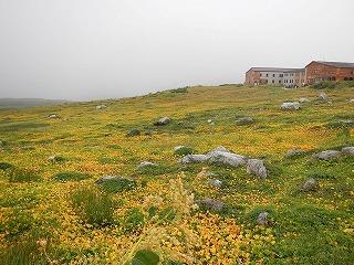 イワイチョウの黄色に染まる室堂