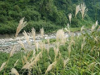 称名付近の川・ススキ