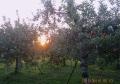 リンゴ園に陽が昇る