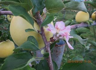 リンゴの花・採用