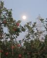 リンゴ園に仲秋の名月