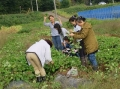 芋の葉柄摘み