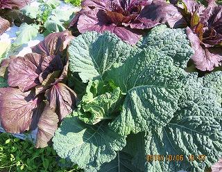 サボイキャベツと紫色の白菜
