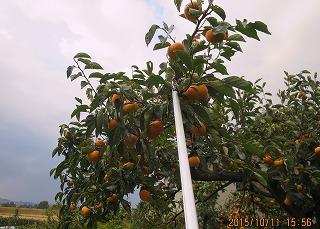 柿の摘み取り