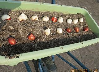 チューリップの植え込み