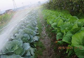 キャベツ白菜に潅水