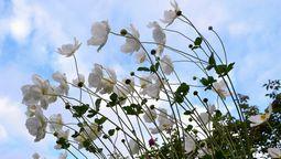 030秋明菊