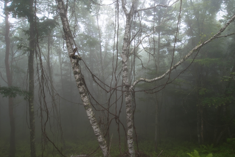 白樺と霧 (2)_R