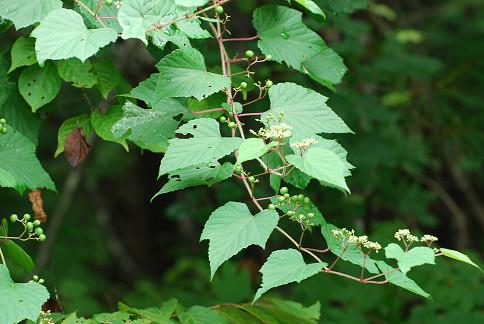 ノブドウの葉と実が