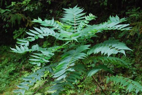 ニワウルシの幼木が