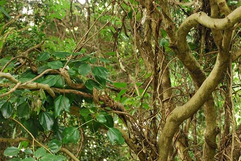 カクレミノの幹の木肌と葉