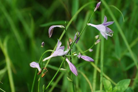 コバノギボウシの花がきれい