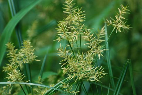 カヤツリグサの花は