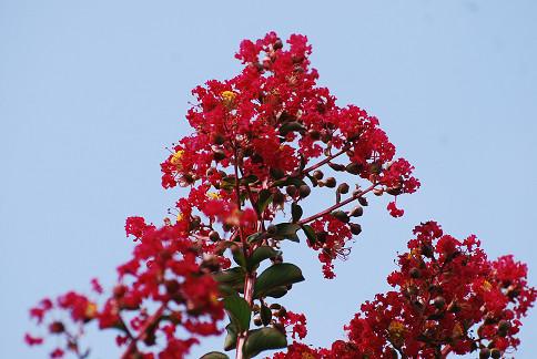 サルスベリの真っ赤な花が