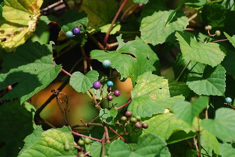 ノブドウの実が色づいた