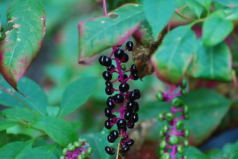 ヨウシュヤマゴボウの実が黒く