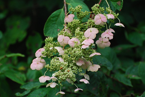 ノリウツギの装飾花がピンクに