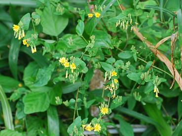 ヤクシソウの黄色い花が