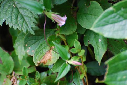 ツルリンドウが咲いていた