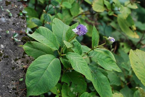 タマアジサイがまだ咲いていた