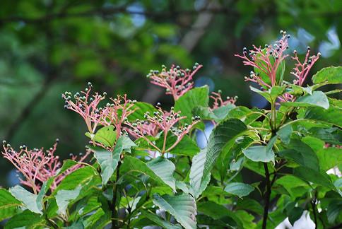 ミズキの花序と実がきれい
