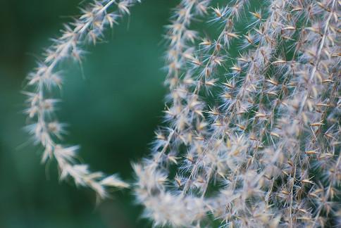 ススキの白い穂