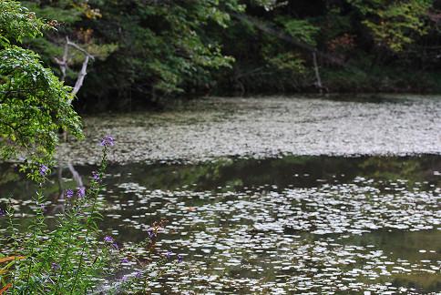 根池の風景とサワギキョウ