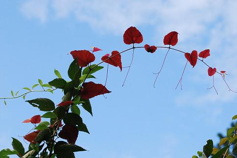 ハート形の紅葉した葉