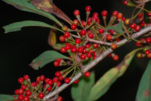 カナクギノキの赤い実がいっぱい