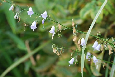 ツリガネニンジンの白い花が
