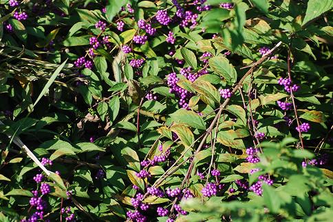 ムラサキシキブの紫色の実