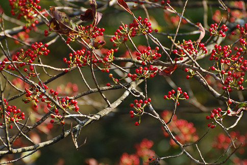 カナクギノキの赤い実がいっぱい (2)