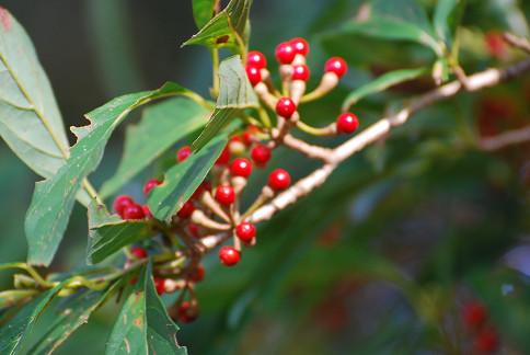 カナクギノキの赤い実が輝く