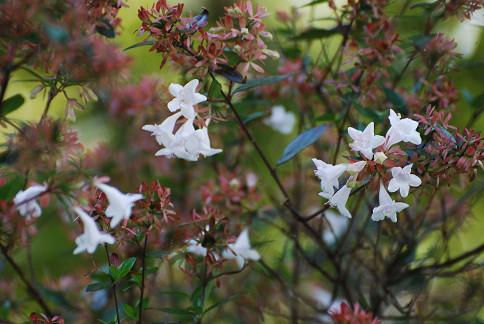 ハナツクバネウツギの花がきれい