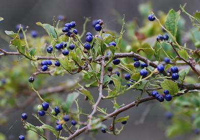 サワフタギのブルーの実がきれい