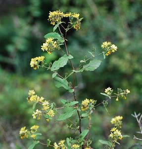 ヤクシソウに黄色い花が