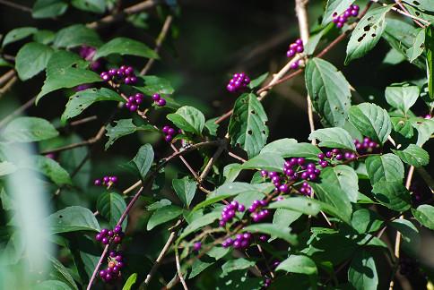 ムラサキシキブの実が美しい