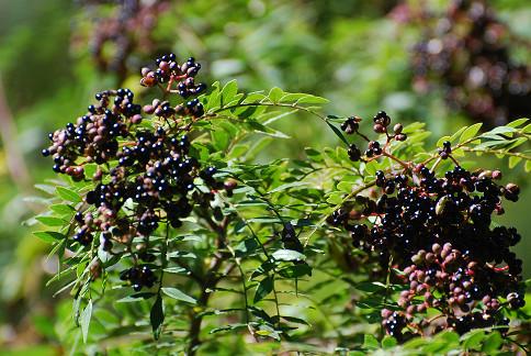 イヌザンショウの黒い種がきれい