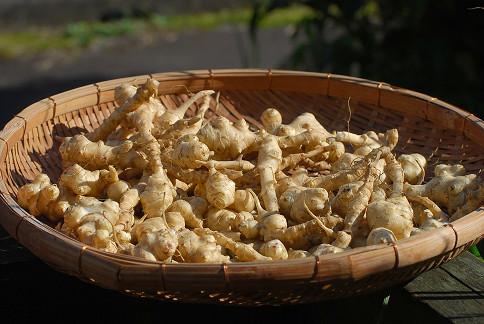 キクイモの収穫