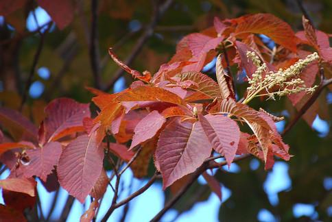 リョウブの紅葉がきれい (2)