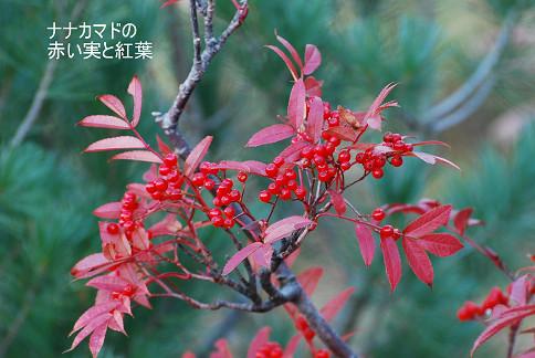 ナナカマドの紅葉と赤い実