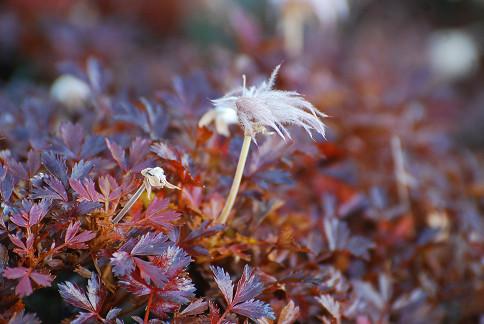 チングルマの白い穂