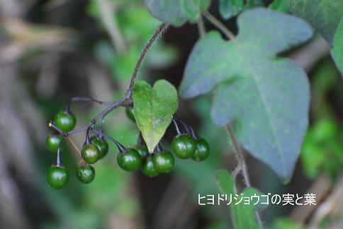 ヒヨドリジョウゴの実と葉