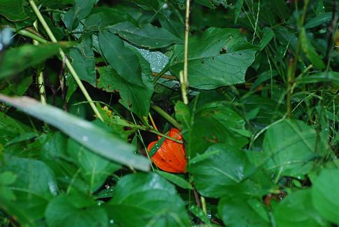 ホオズキの赤い実